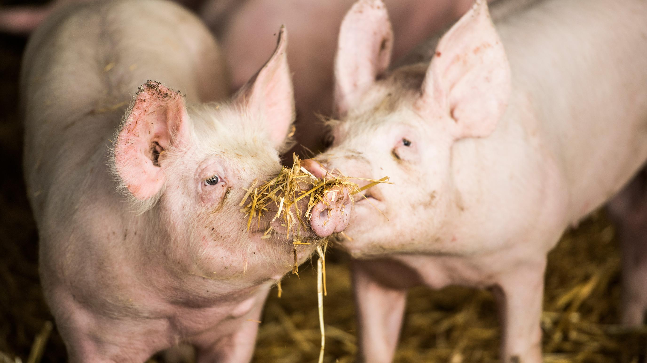 Fair zum Tier Schweine