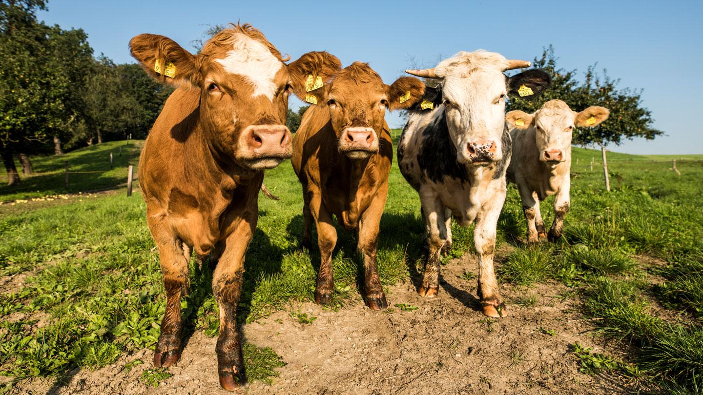 Fair zum Tier Rinder