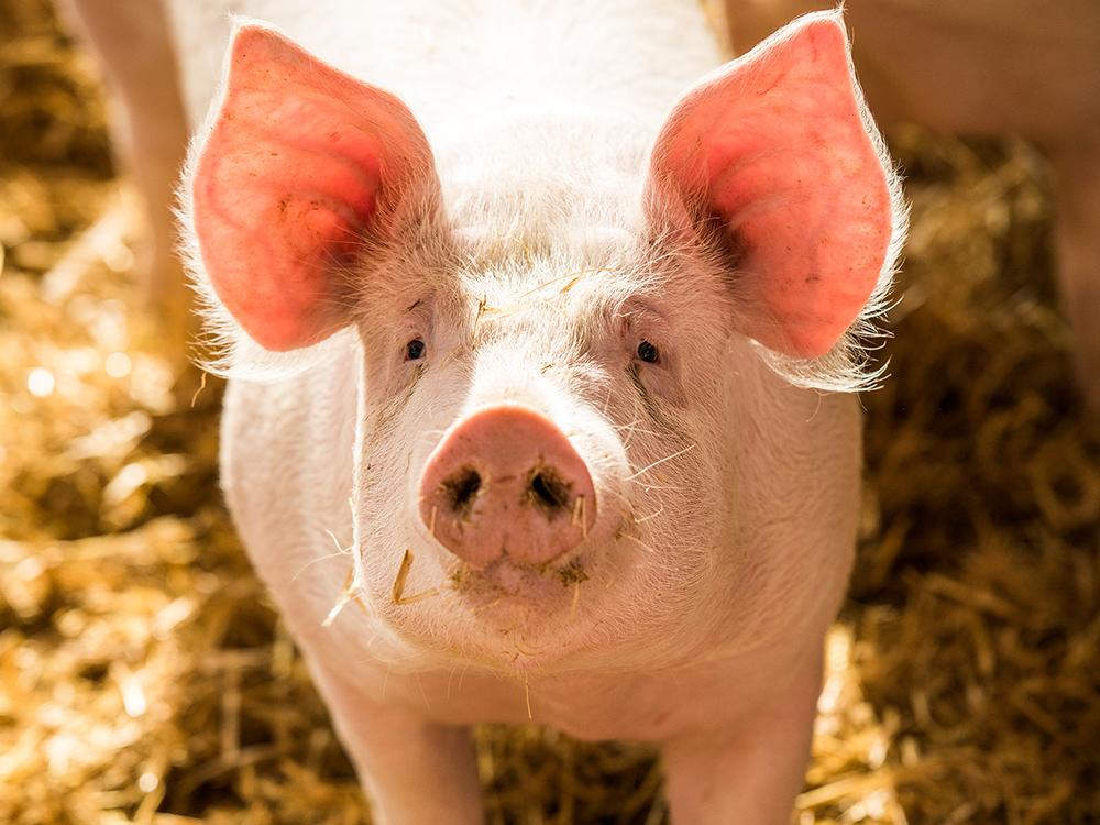 Fair zum Tier Schwein
